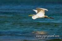Great Egret (Ardea alba) or Great White Heron